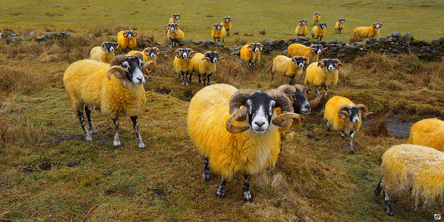 Highlands - Yellow Sheep