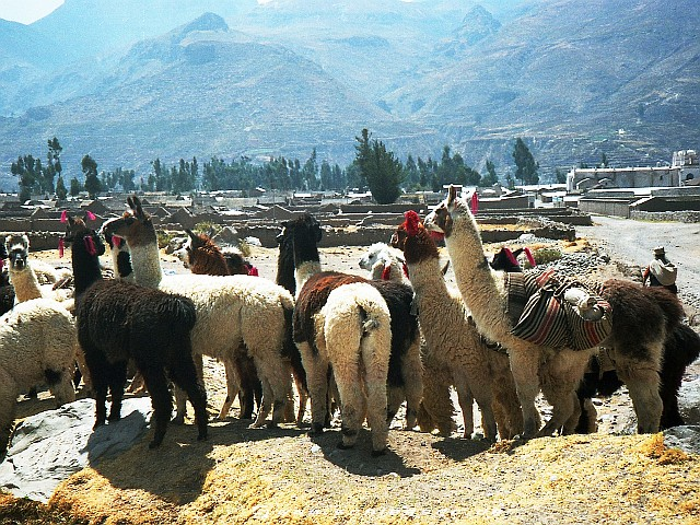 Peru Colca Canyon Picture